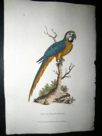 Shaw C1800's Antique Hand Col Bird Print. Blue & Yellow Maccaw Parrot